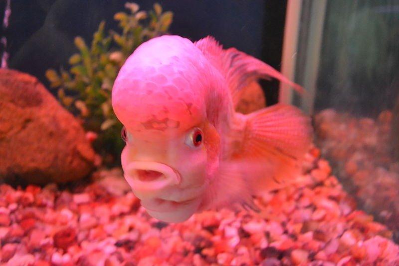 Imagen del pez flower honr