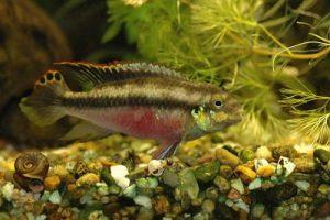 Kribensis o pez purpura