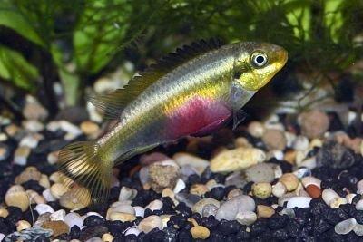 Pelvicachromis sacrimontis hembra