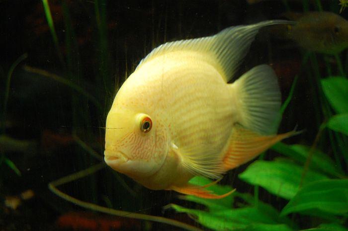 fotos de peces ciclidos americanos