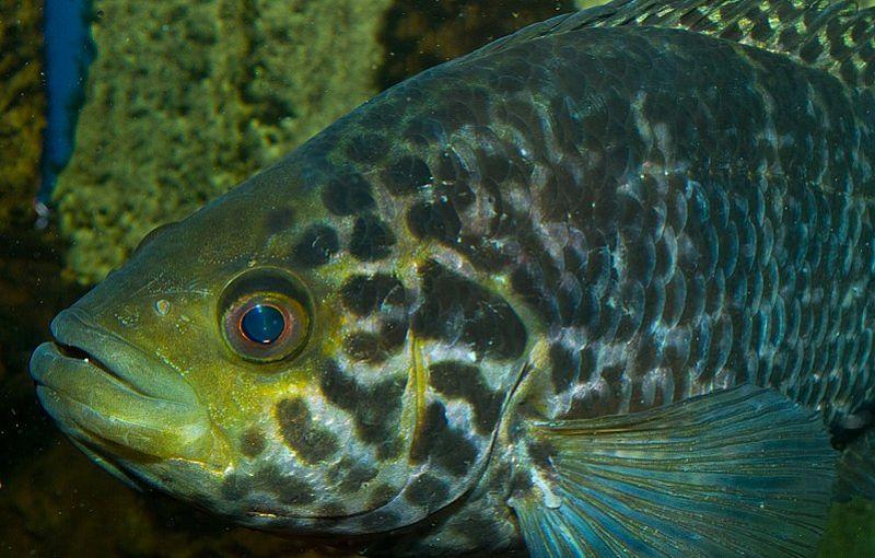 fotos de peces guapotes
