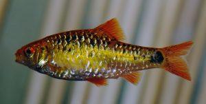 fotos del pez barbo dorado