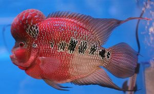 red dragón flowerhorn