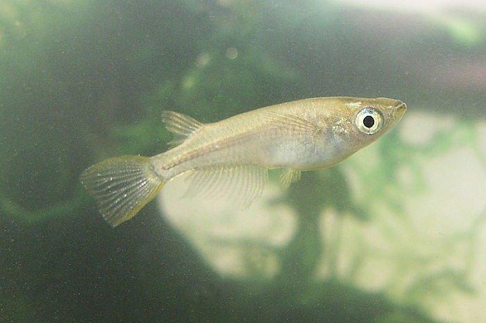 imágenes del pez medaka