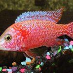 imágenes del peces ciclidos americanos