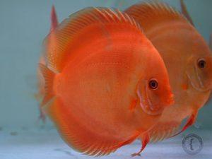 imágenes del pez disco rojo melon
