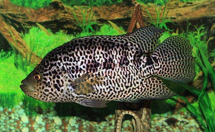 imágenes del pez guapote