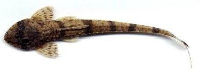 Loricaria filamentosa