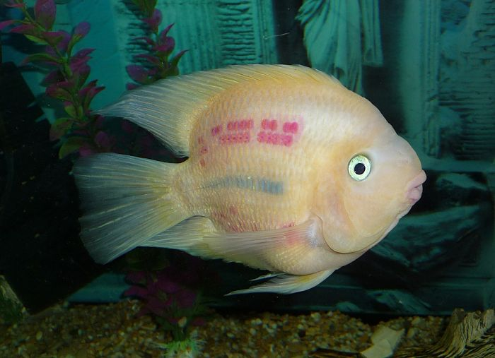 peces ciclidos americanos fotos
