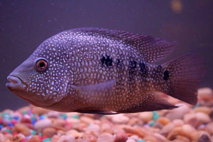 peces ciclidos americanos imágenes