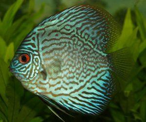 pez disco azul turquesa