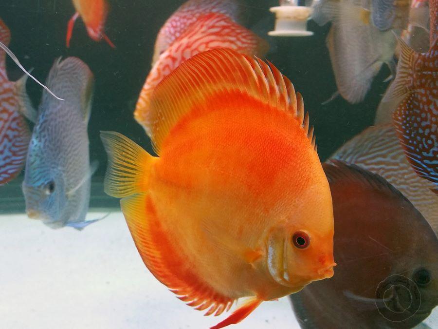 pez disco dorado