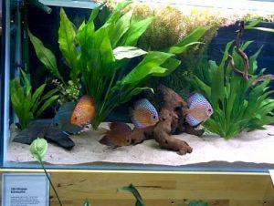 pez disco en acuarios