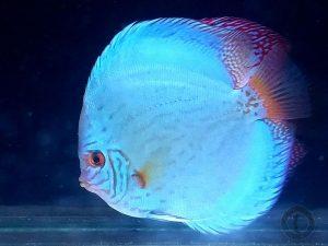 pez disco turquesa brillante