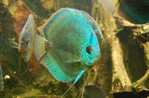 pez disco verde
