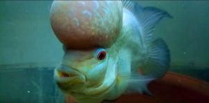 pez flowerhorn