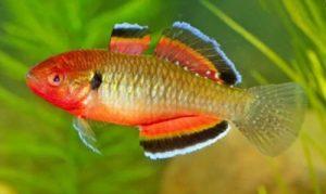 pez gobio rojo