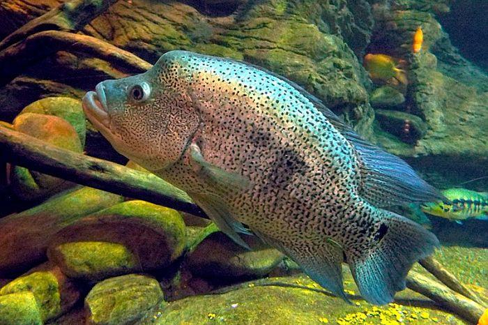 pez guapotes imágenes