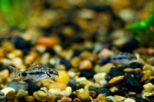 Corydora pigmea, Corydoras enano; corydora enana