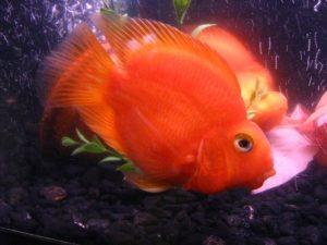 El pez loro de sangre