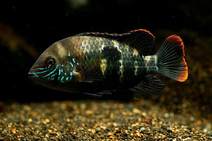 Fotos del pez terror verde - copia