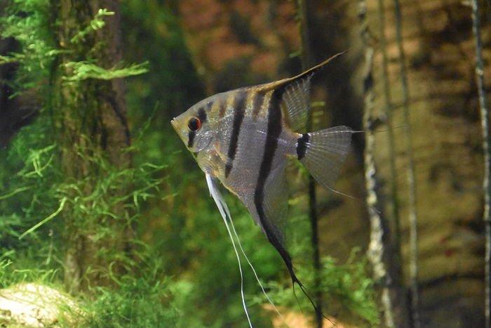 Imágenes del pez ángel, pez angel animado