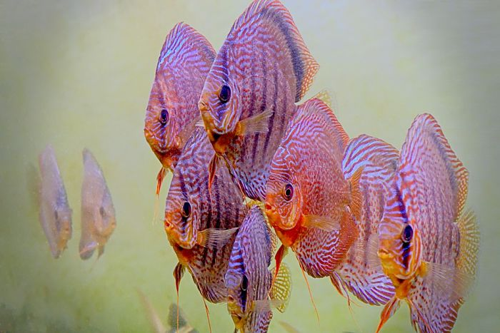 imágenes de peces discos