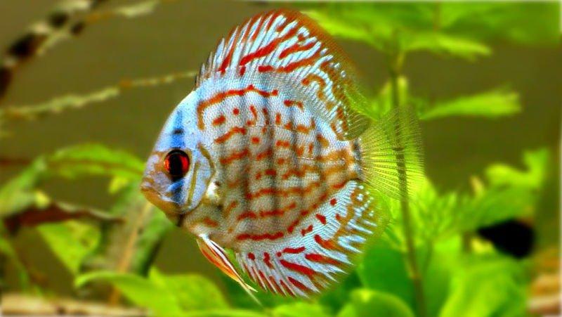 fotos de peces discos en acuarios