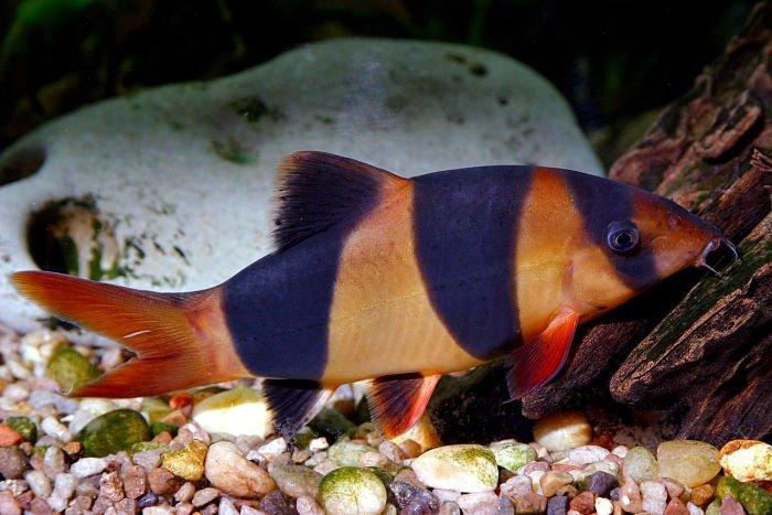 fotografías del pez locha payaso