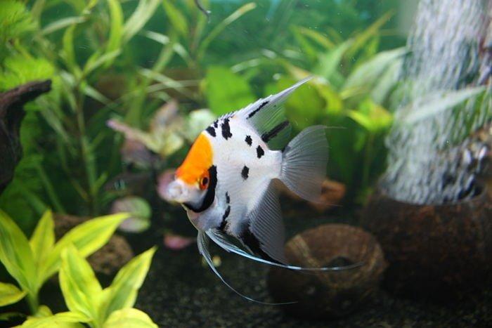 fotos del pez ángel koi