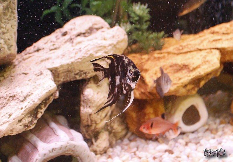 fotos del pez angel marmol