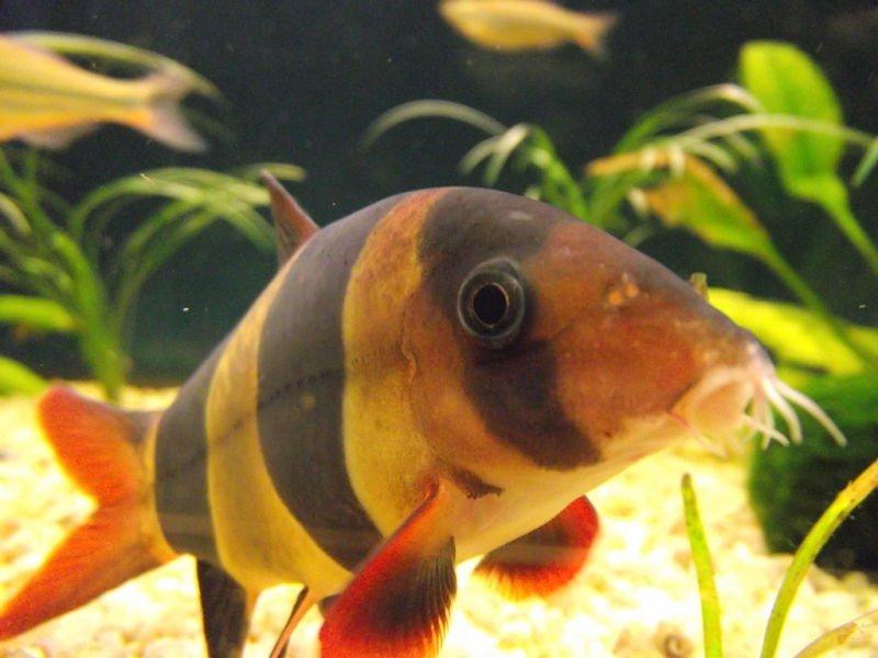 fotos del pez locha payaso
