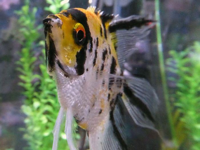 imágenes del pez ángel koi