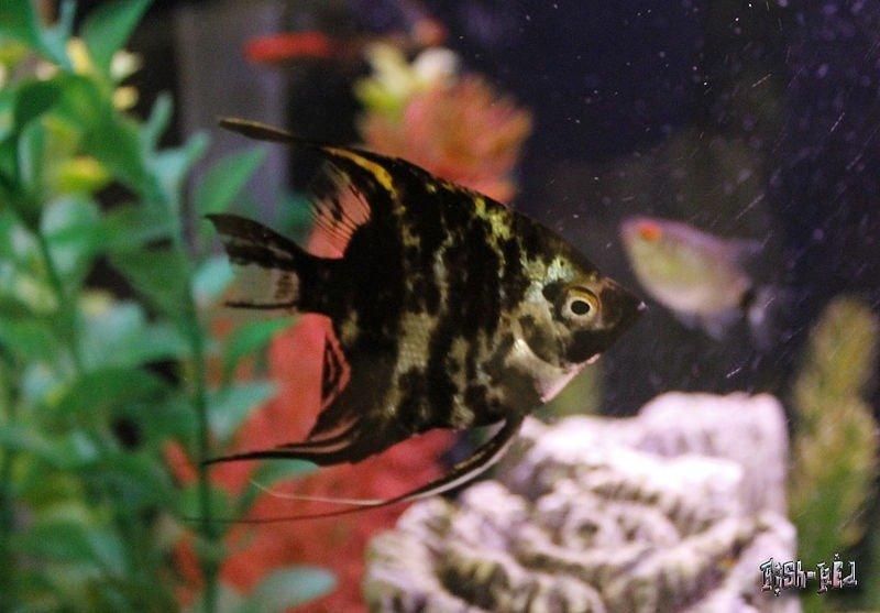imagenes del pez ángel marmol