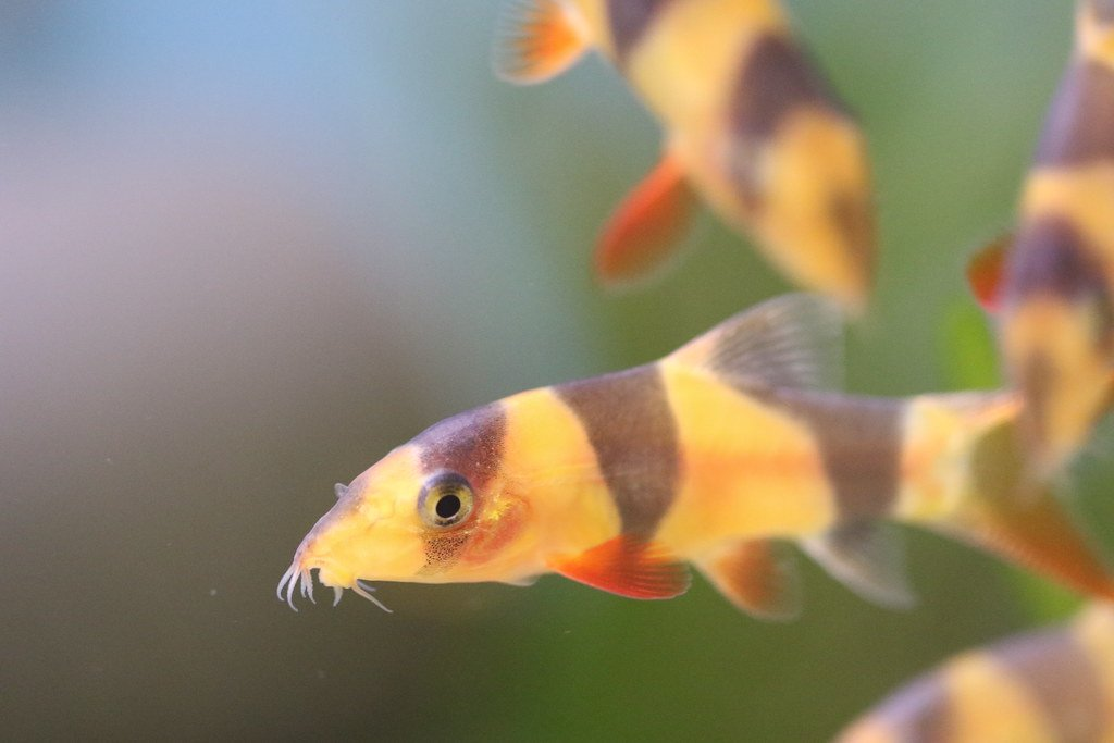 imágenes del pez locha payaso