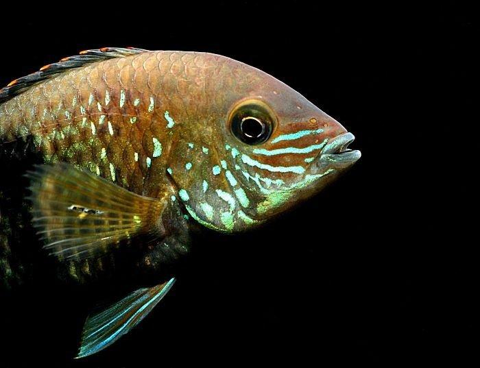 imagenes del pez terror verde - copia