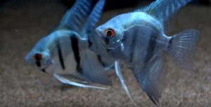 pez angel azul