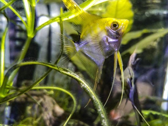 Escalar pez