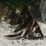 pez angel marmol fotos