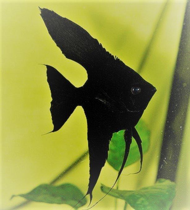 pez angel negro