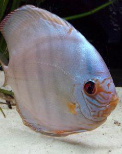 pez disco