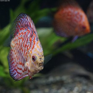 pez disco salvaje