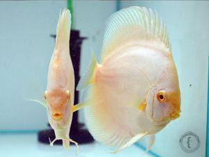 pez disco albino