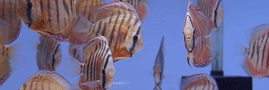 pez disco alenquer