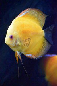 Fotos del pez disco amarillo