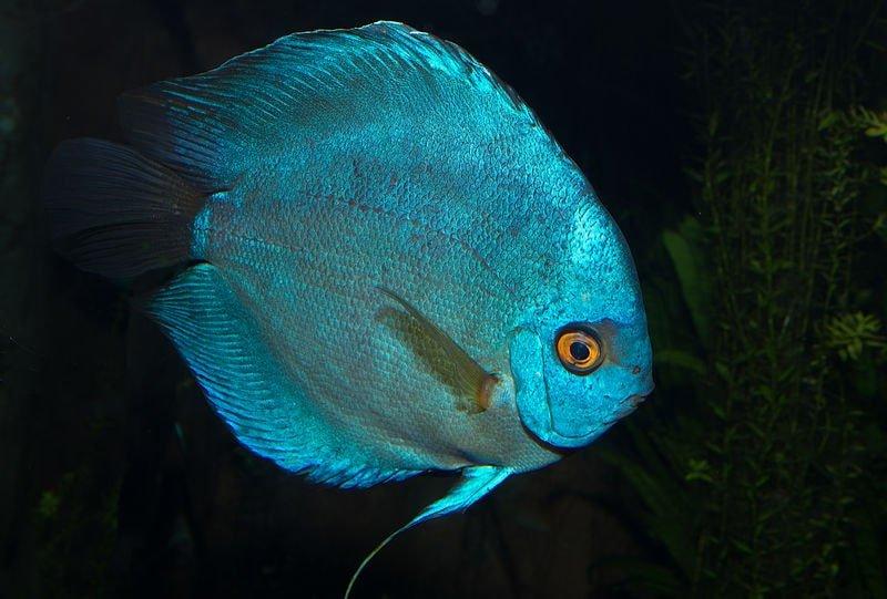 pez disco azul cobalto