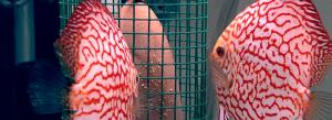 pez disco dragón rojo