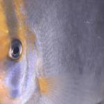 pez disco fantasma