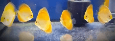 pez disco marlboro
