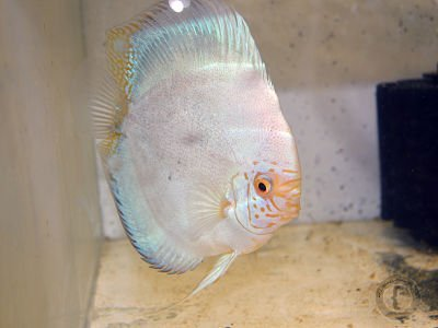 pez disco no quiere comer
